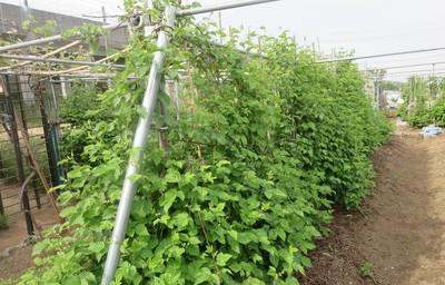 ボイセンベリー畑2.JPG